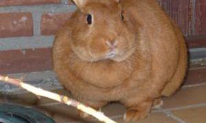 Лишний вес у кроликов, морских свинок и прочих грызунов