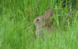 Кишечная флора кролика